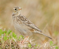 Sprague_s_pipit_pc_Greg_Lavaty