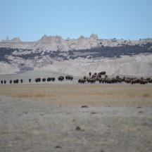 Bison (Bison bison) near Badlands National Park in SD