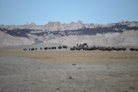 Bison (Bison bison) near Badlands National Park in SD