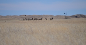 A herd of Elk (Cervus canadensis) grazing in Fort Niobrara Wildlife Refuge