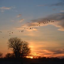 Sandhill Cranes (Grus canadensis)