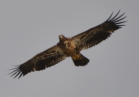 Golden Eagle (Aquila chrysaetos) flying along the Niobrara River
