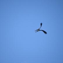 Bald Eagle (Haliaeetus leucocephalus) in Northern Nebraska