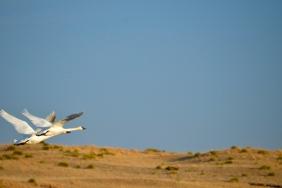Two Trumpeter Swans (Cygnus buccinator) near Valentine, Nebraska
