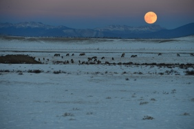 Full moon rises near a herd of grazing elk near South Park, CO