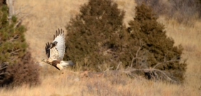Rough Legged Hawk (Buteo lagopus) near the Black Hills of SD