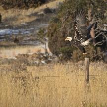 Bald Eagle (Haliaeetus leucocephalus) taking flight near Newcastle, WY