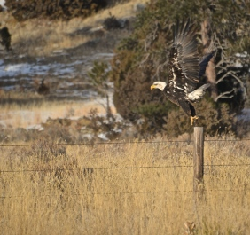 Bald Eagle (Haliaeetus leucocephalus) taking flight near Newcastle, WY