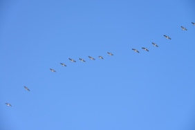 Canada Geese (Branta canadensis) flying over Butte, MT