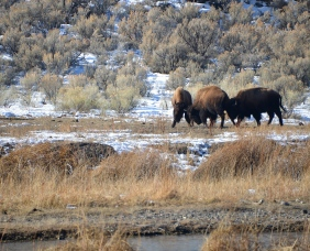 Three young bulls in Yellowstone National Park