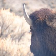 Bison (Bison bison) in Yellowstone National Park