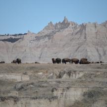 Bison (Bison bison) near the Badlands National Park in SD
