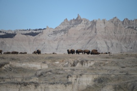 Bison (Bison bison) near the Badlands National Park in SD