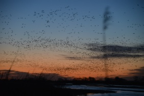 Hundreds of thousands Sandhill Cranes (Grus canadensis) rise from their roosting grounds along the Platte River in Kearney, Nebraska at Sunrise