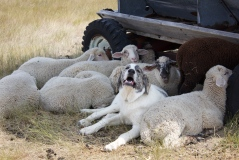 Liam the guard dog with his sheep on the Veseth Cattle Ranch
