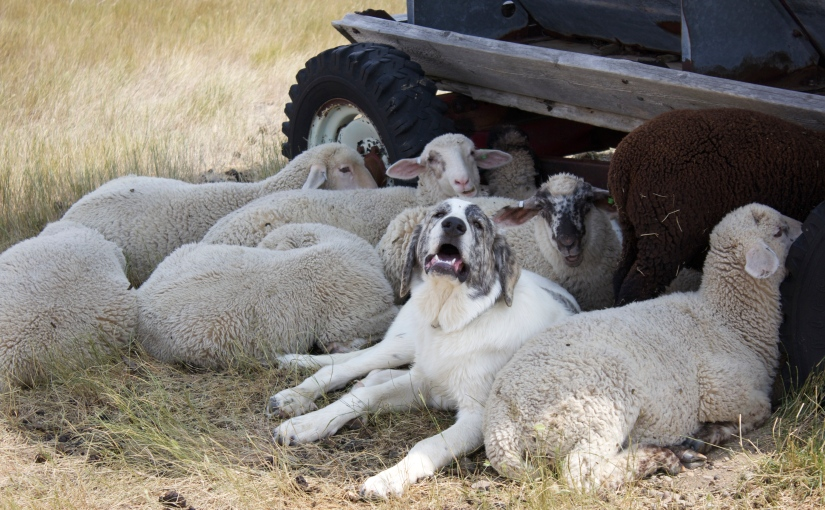Livestock Guardian Dogs and Predator Friendly Ranching
